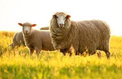 Viên uống nhau thai cừu tốt cho sức khỏe không?