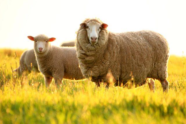 nhau thai cừu đẹp da