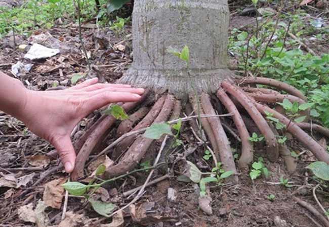 Rễ cau ngâm rượu để chữa bệnh yếu sinh lý