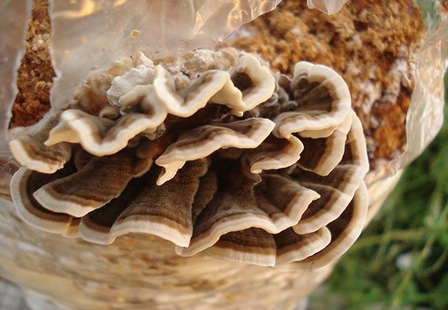 Nấm vân chi là loại nấm có khả năng hỗ trợ điều trị và ngăn ngừa ung thư rất tốt