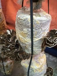 những kỹ thuật trồng nấm vân chi